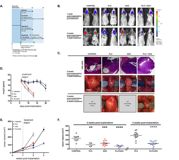 Tumor volume is significantly reduced by combined treatment with both PLX4720 and dasatinib.