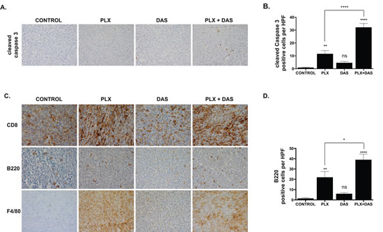 PLX4720 and combined treatment with dasatinib induces caspase 3 cleavage and an immune response characterized by T cell, B cell and macrophage/monocyte infiltration.