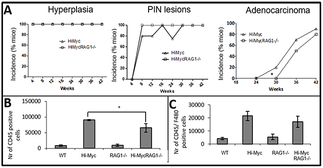 Reduced immune cell influx and delayed development of adenocarcinoma in Hi-MycRAG1-/- compared to Hi-Myc mice.