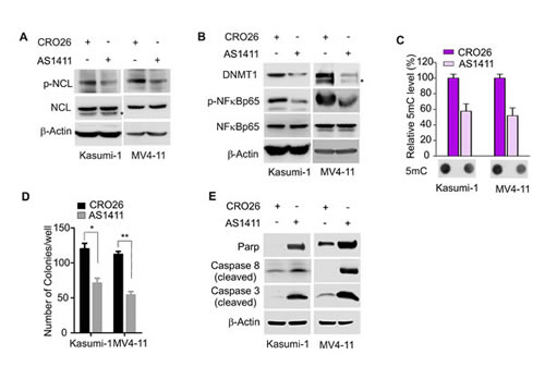 Pharmacological inhibition of NCL reduces DNA methylation and suppresses leukemia cell growth.