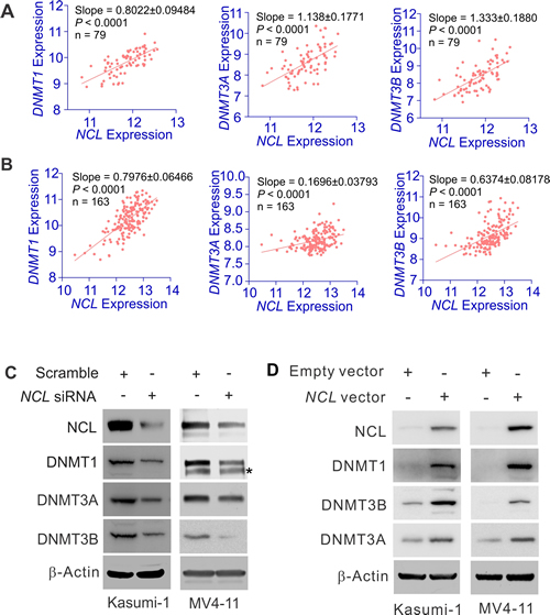 NCL positively regulates DNMT expression.