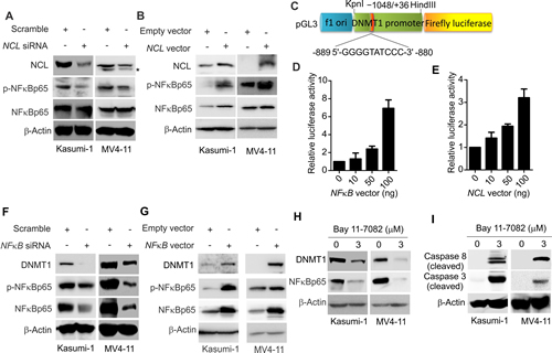 NCL modulates DNMT1 expression via NFκB pathway.