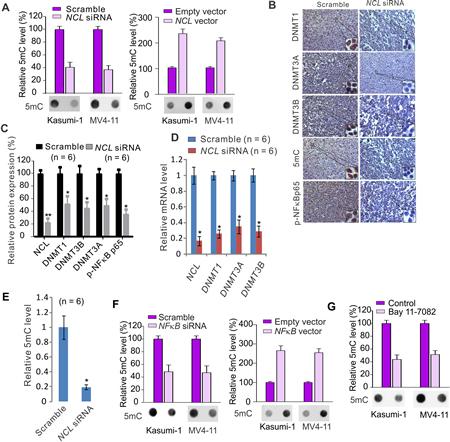 NCL dysfunction modulates DNA methylation program.