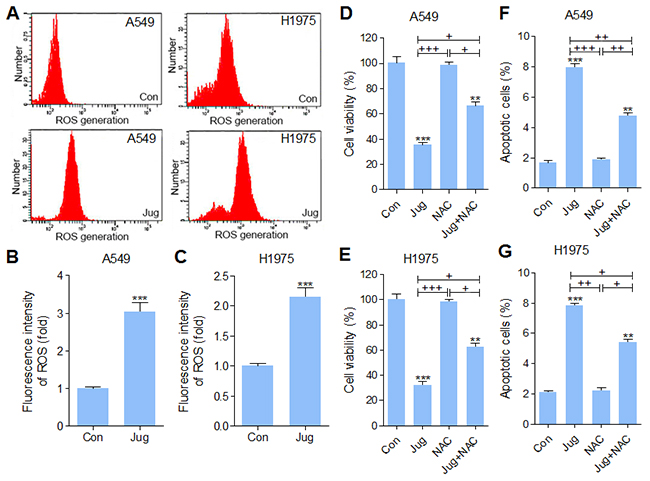 Juglanin enhanced ROS production in lung cancer cells.