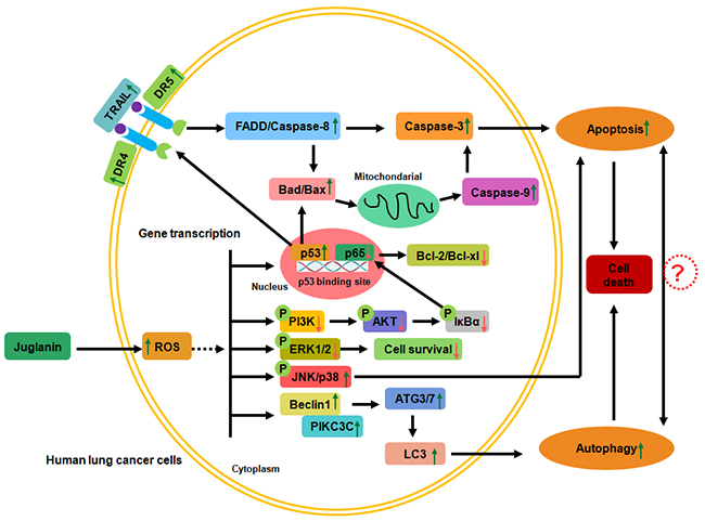 The working model regarding to the role of juglanin in lung cancer cells.