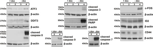 Immunoblotting of ATF3, DDIT3 (CHOP), caspases 8, 3, 9 and 7 and of PARP, related to activation of intrinsic and/or extrinsic apoptotic pathways; western blot analysis of c-FOS, ID2 and CD44; numbers correspond to the following experimental conditions: