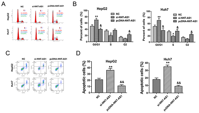 NNT-AS1 alleviated the cell cycle and apoptosis of HCC cells in vitro.
