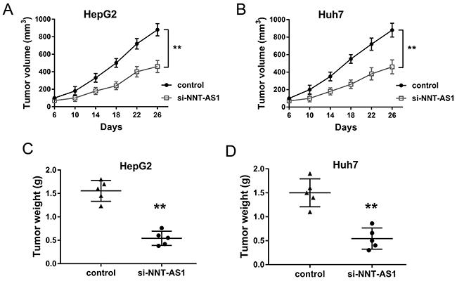 NNT-AS1 knockdown inhibited the HCC tumor growth in vivo.
