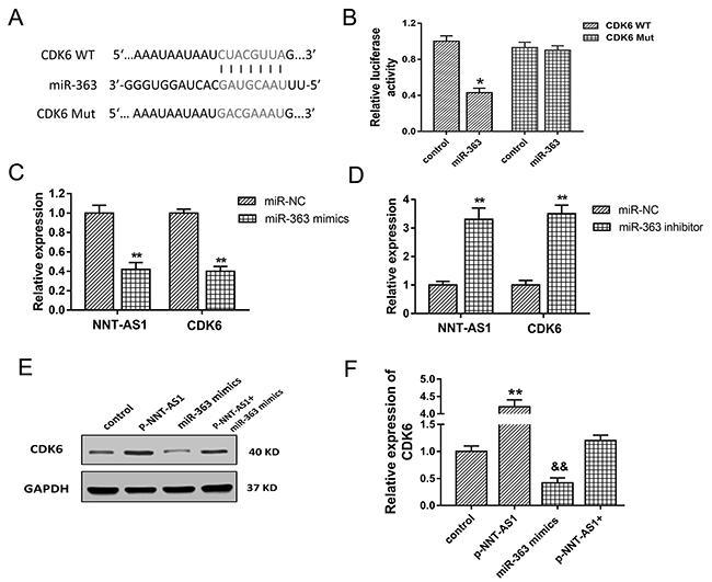 CDK6 was target gene of miR-363.