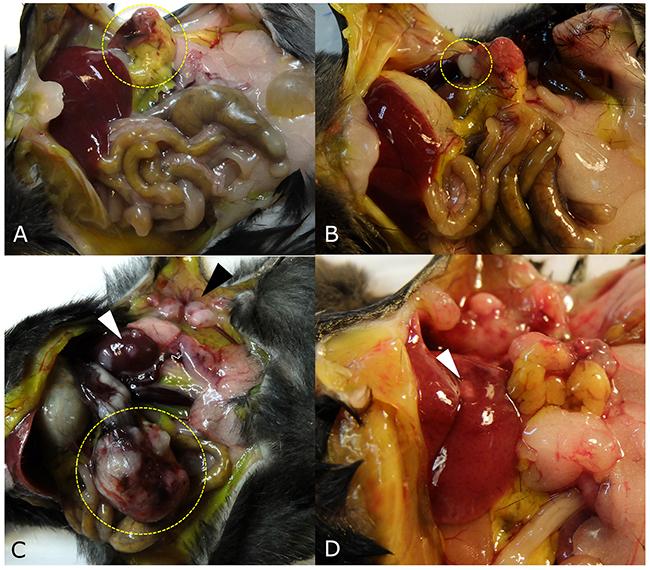 Tumor growth patterns at laparotomy.