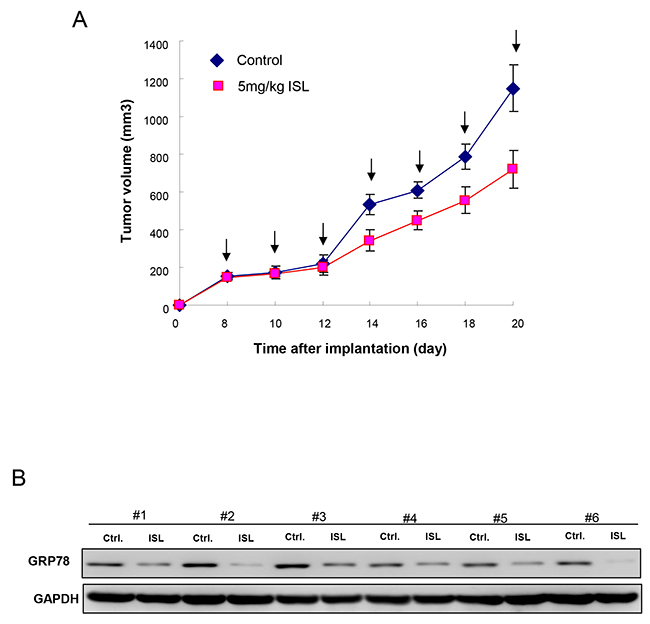 Therapeutic efficiency of ISL in OCSC-transplanted mice.