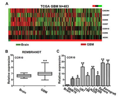 The expression of CCR10 in glioma tissues.
