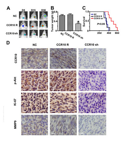 Down-regulation of CCR10 inhibits growth