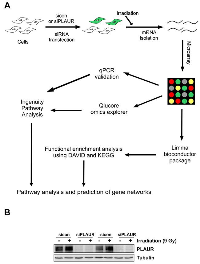 Schematics of microarray analysis on PLAURsi cells.