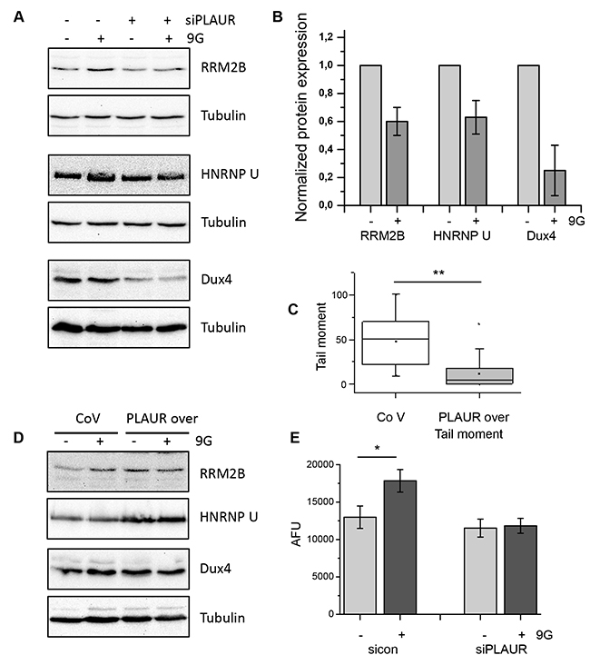 Level of PLAUR expression regulates expression of DNA damage related proteins and efficiency of DNA repair.