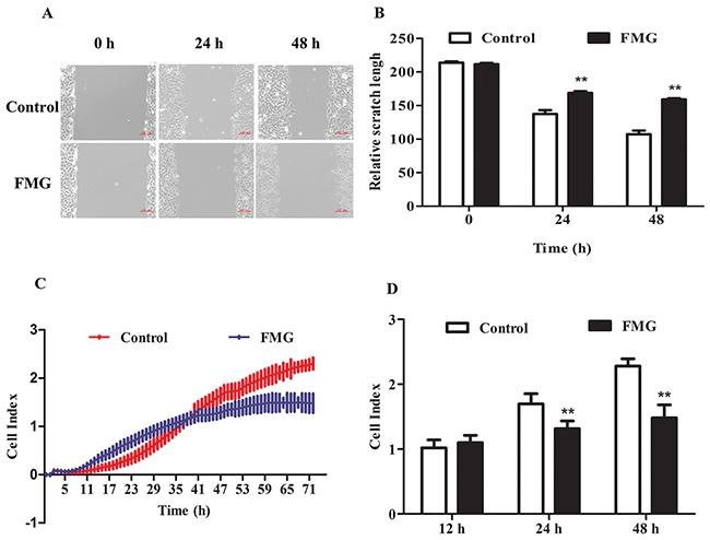 The effects of FMG on cell migration and invasion in A549 cells.