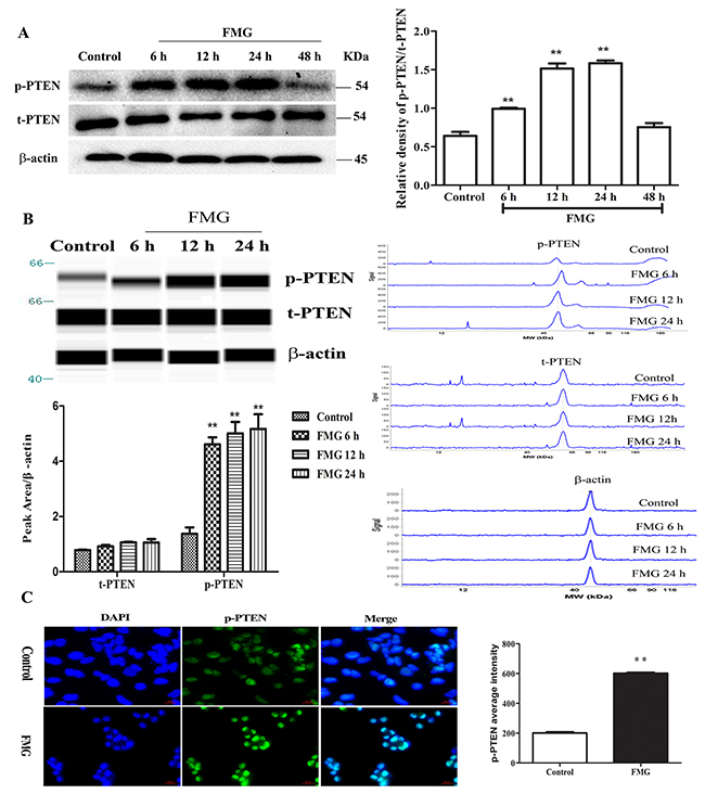 The effects of FMG on the phosphorylation of PTEN in A549 cells.