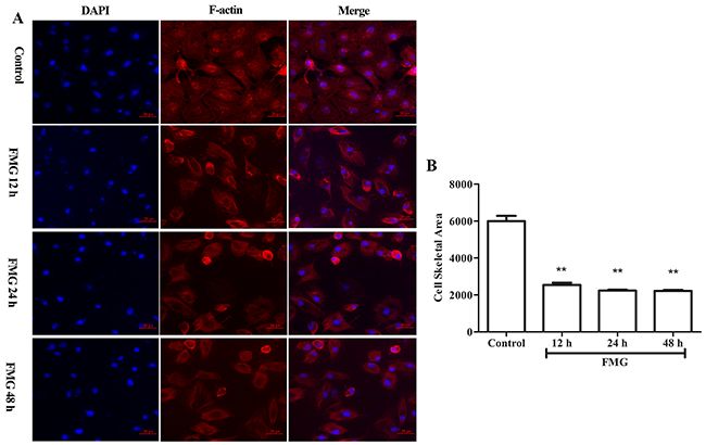 The effects of FMG on cell cytoskeletal rearrangement in A549 cells.