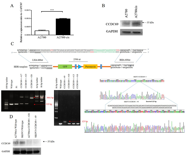 Overexpression of CCDC69 in A2780cis cells and generation of CCDC69 knockout A2780cis and SKOV3 cells using the CRISPR/Cas9 system.