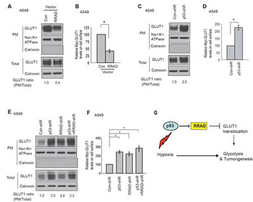 p53 negatively regulates GLUT1 translocation to the plasma membrane (PM) through RRAD under hypoxic conditions.