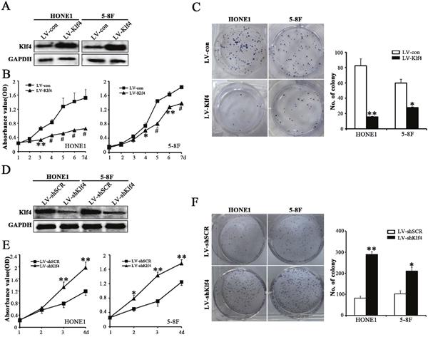 Klf4 negatively regulated the proliferation of NPC cells.
