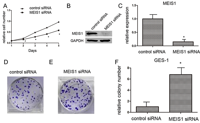 MEIS1 siRNA promotes GES-1 cell proliferation or survival.
