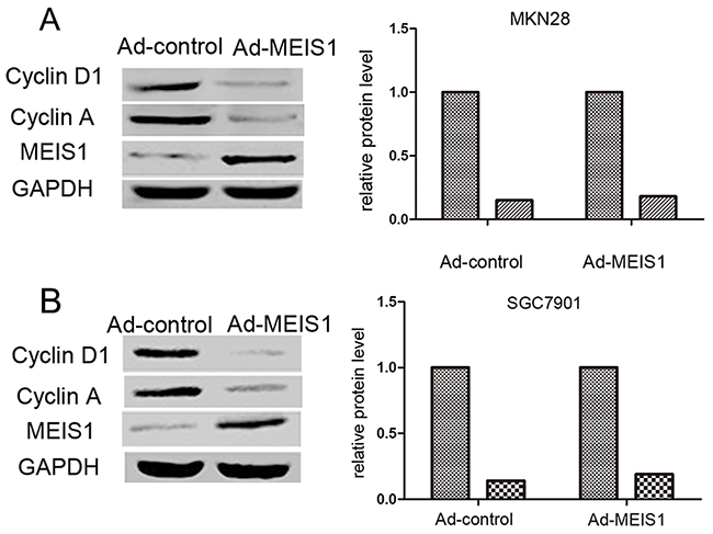 MEIS1 reduces the positive G1/S transition regulators, Cyclin D1 and Cyclin A.