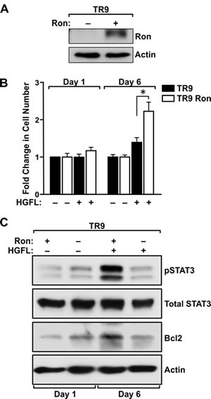 HGFL promotes survival of Ron expressing prostate cancer cells and induces STAT3 activation and Bcl2 expression under detached conditions.