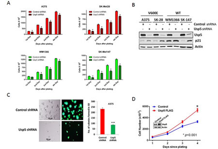 Usp5 regulates melanoma cell growth.