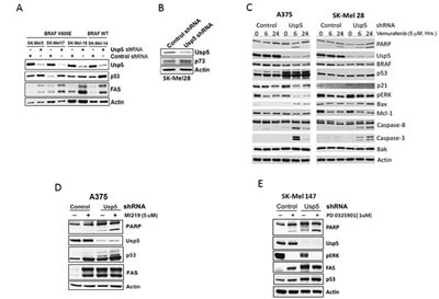 Usp5 regulates apoptotic responsiveness to kinase inhibition.