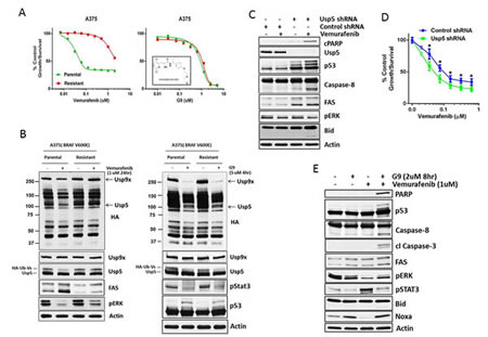 Usp5 depletion or inhibition overcomes acquired resistance to vemurafenib in melanoma.