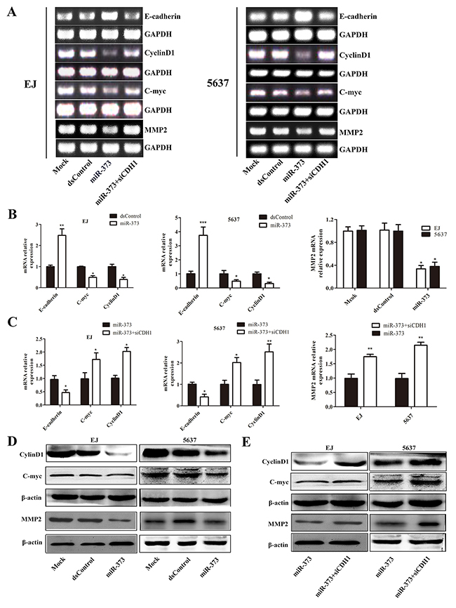 MiR-373 inhibits E-cadherin's downstream genes Cyclin D1, C-myc and MMP2 expression.