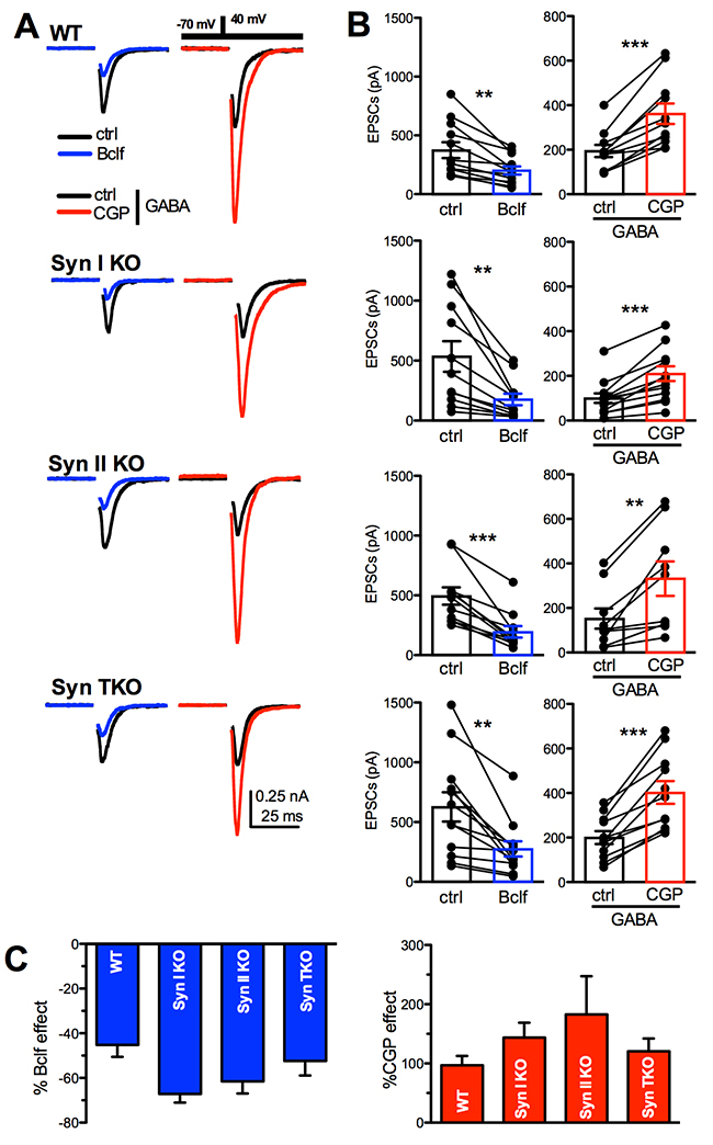 GABAB receptors are functional in WT, Syn I KO, Syn II KO and Syn TKO hippocampal neurons.