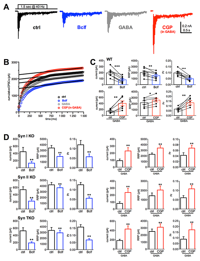 Presynaptic GABABR activity similarly affects Pr and RRP size in WT, Syn I KO, Syn II KO and Syn TKO hippocampal excitatory autapses.