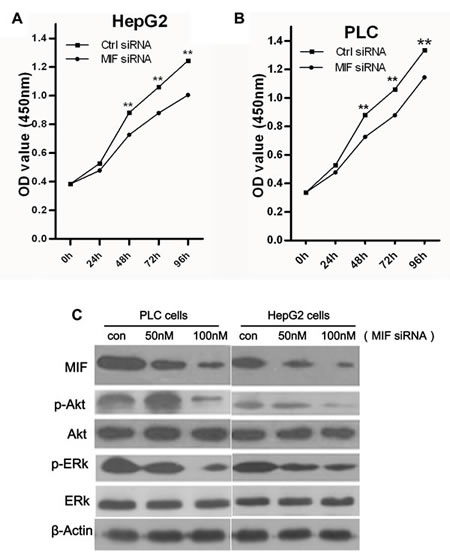 The effects of MIF knockdown on cell proliferation.