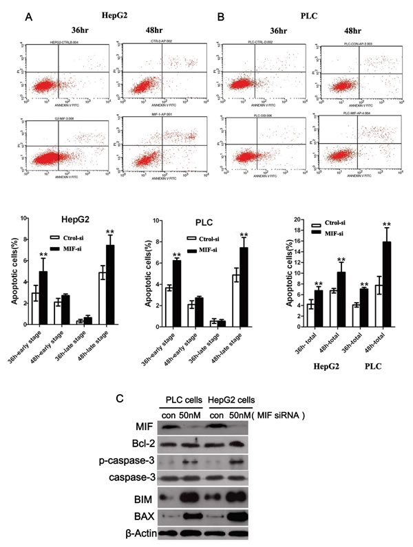 The effects of MIF knockdown on cell apoptosis.