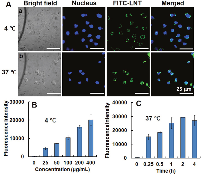 Interaction of LNT with MCF-7 cells in vitro.