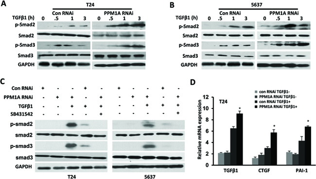 PPM1A terminated TGF-β signaling in BCa cells by dephosphorylating TGF-β-activated Smad2/3