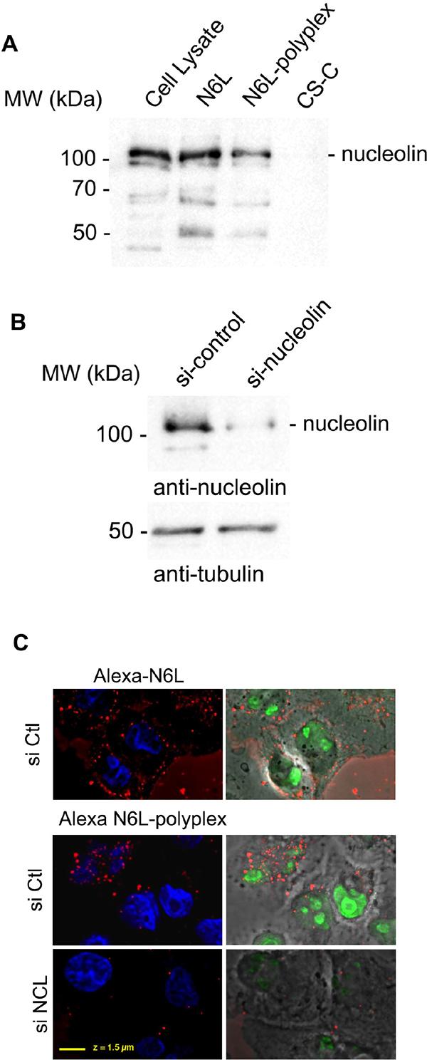 Biological properties of N6L-polyplexes.