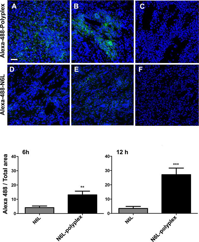 N6L polyplexes target tumour tissue.