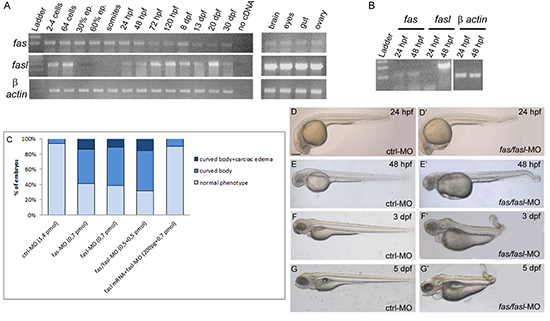 Expression and functional analysis of fas and fasl in zebrafish.
