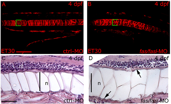 fas and fasl loss-of-function affects notochord differentiation and peri-notochordal sheath integrity. (A-B)