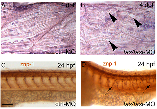 Defects in notochord differentiation prevent normal muscle structure and primary motoneuron axon projections. (A-B)