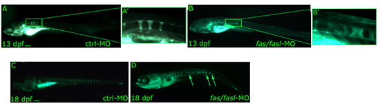 Analyses of notochord segmentation and vertebral formation following fas/fasl loss of function. (A-D)