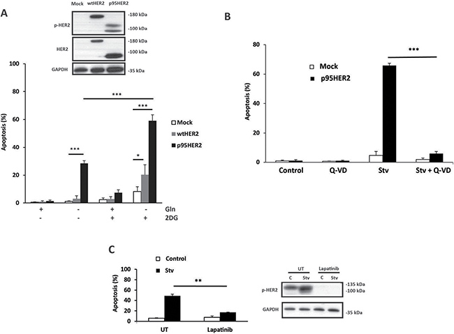 Increased sensitivity of p95HER2/611CTF-overexpressing cells to metabolic stress.