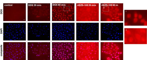 The intracellular distribution of AEZS-108 and doxorubicin are different after a short incubation in DU-145 castration-resistant cells.