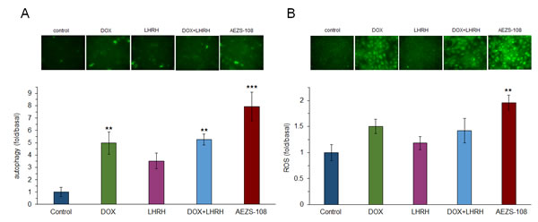 The cytotoxic LHRH analog, AEZS-108, induces autophagy (A) and increases the level of intracellular ROS (B) in the DU-145 castration-resistant prostate cancer cells.