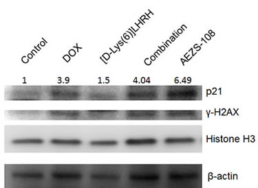 AEZS-108 elevates the protein level of p21 WAF1/Cip1 but its effect on the phosphorylation of γ-H2AX is comparable to that of unconjugated doxorubicin.