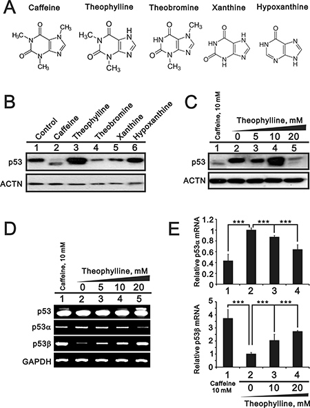 The effects of methylxanthines and xanthines on the alternative splicing of p53.