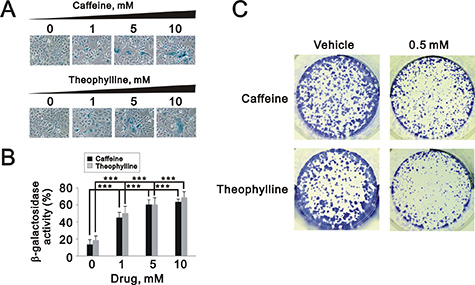 Theophylline and caffeine caused cellular senescence in MCF-7 cells.